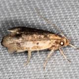 0960.97 Unidentified Psilocorsis worn BG Lake of the Woods Ontario 7-24-16 (24)_opt