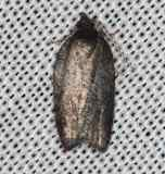 3563.97 Unidentfied Acleris Moth Lake of the Woods Ontario 7-21-16 (26)_opt