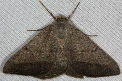 6419 Pale-veined Isturgia Moth River Junction Withalecoochee St Forest Fl 2-21-17_opt