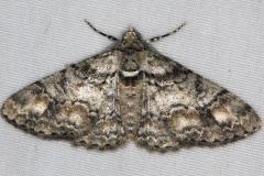 6594 Double-lined Gray Moth River Junction Withlacoothee St Forest Fl 2-22-17_opt