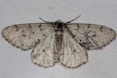 6661 Walnut Spanworm Moth Favre Dykes State Park Fl 2-20-17_opt