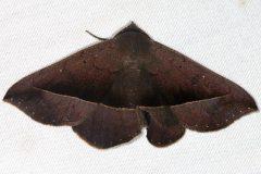 6974 Juniper Geometer Moth Favre Dykes State Park Fl 2-19-17_opt