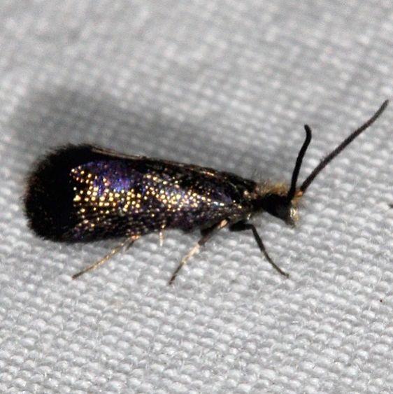 0001 Goldcap Moss-eater Moth Oscar Scherer St Pk Fl 2-28-17_opt