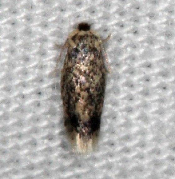0058.97 Unidentified Ectodoemia Moth yard 7-22-14