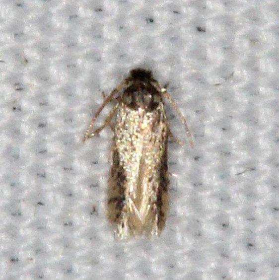 0058.97 Unidentified Ectoedomia Moth Campsite 119 Falcon St Pk Texas 10-27-16_opt