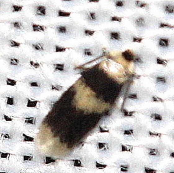 0088 Nepticula macrocarpae yard 8-31-12
