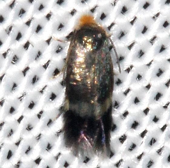 0111.97 Unidentified Stigmella Moth yard 8-14-16 (8a)_opt
