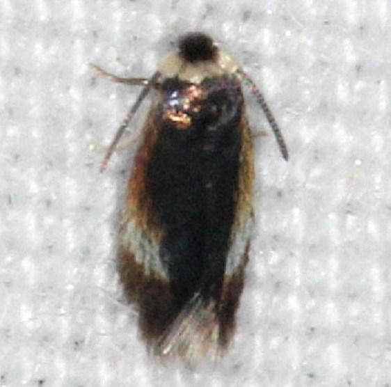0118.97 Unidentified Nepticulidae Moth yard 8-29-14