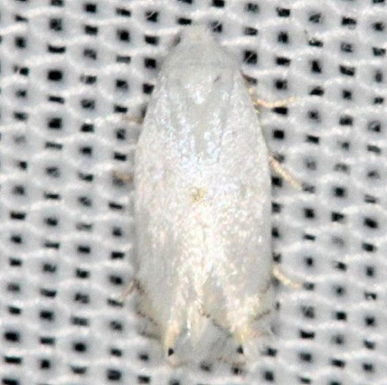 0122 Gooseberry Barkminer Moth yard 5-29-13