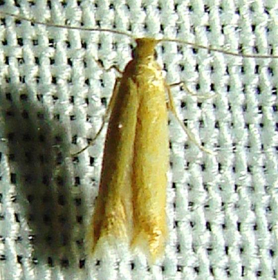 0173.99 Unidentified Tischeriid spp Gold Head Branch St Pk 2-15-12