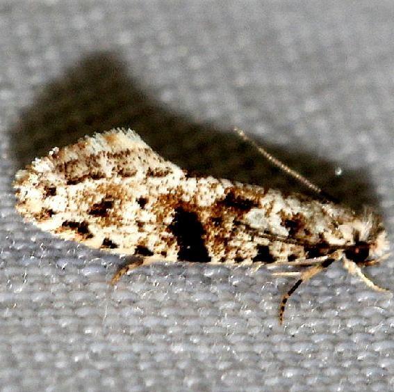 0266 European Grain Moth Little Talbot Island State Park Fl 2-19-13
