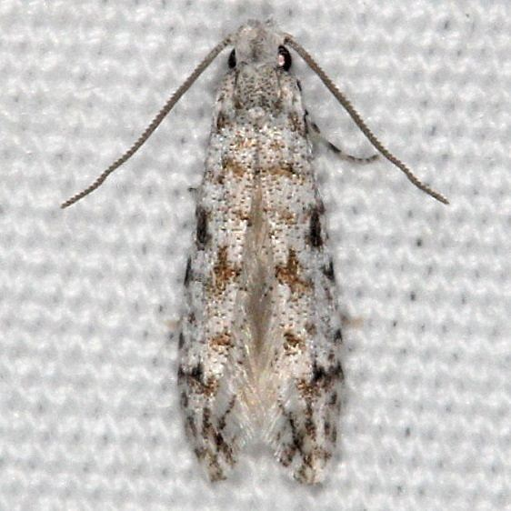 0275.97 Unidentified Nemapogan Moth BG Silver Lake Cypress Glenn Fl 3-19-15