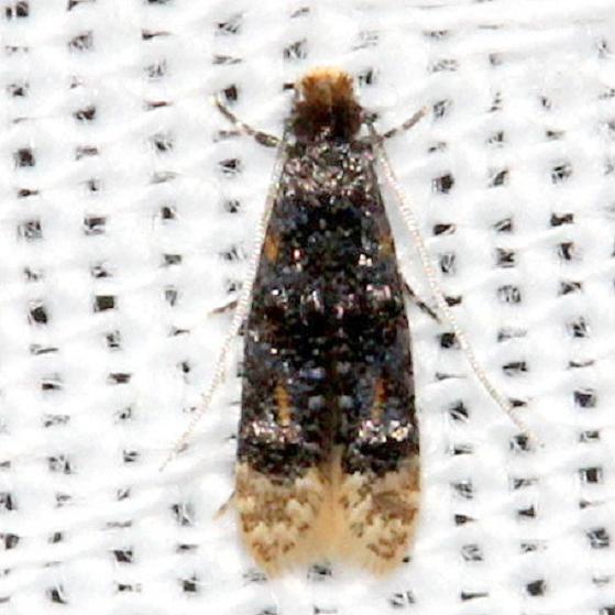 0296 Stenoptinea auriferella Kissimmee Prairie St Pk 3-15-13