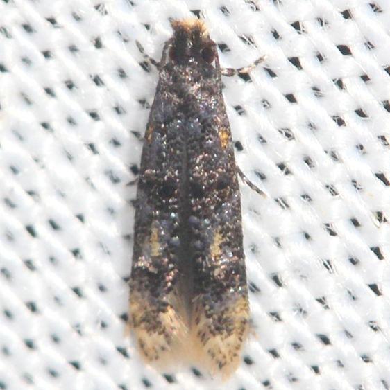 0296 Stenoptinea auriferella yard 8-20_12 (12)_opt