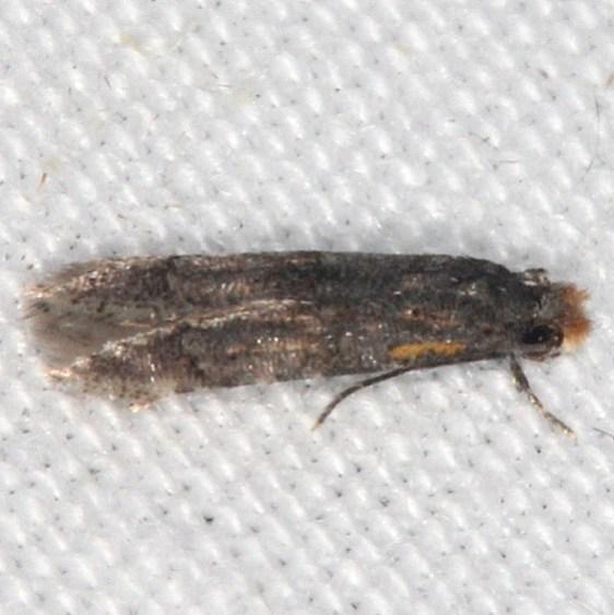 0297.97 BG Unidentified Stenoptinia Moth Oscar Scherer St Pk Fl 2-25-17_opt (2)