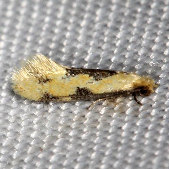 0300 Yellow Wave Moth Hybroma servulella yard 7-17-13
