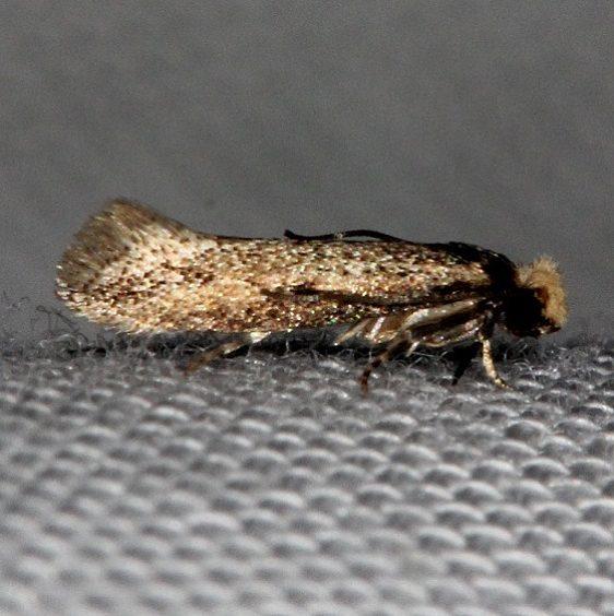 0301 Homostinea curviliniella Tosohatchee WMA Fl 2-11-14