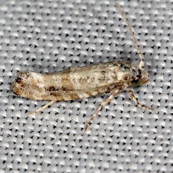 0316 Xylesthia albicans BG NABA Gardens Texas 11-4-13