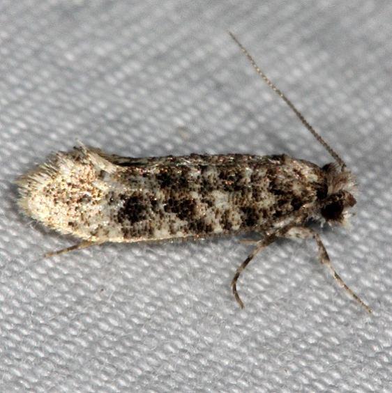 0317.97 Unidentified Xylesthia Moth Silver Lake Cypress Glenn Fl 3-16-15