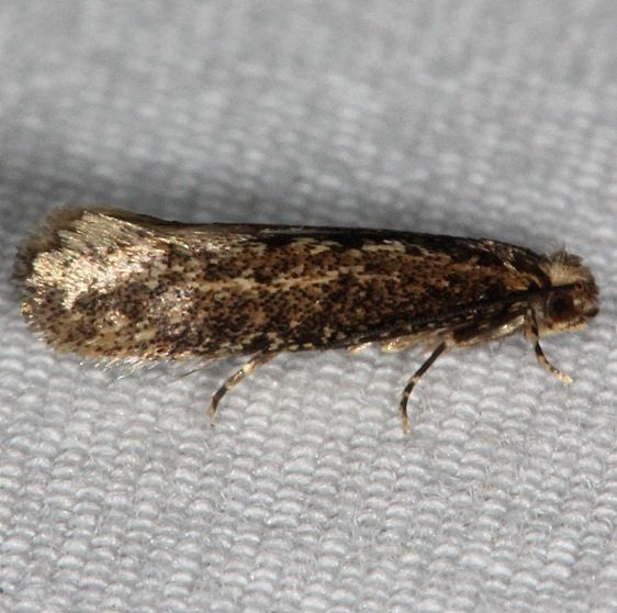 0325 Haplotinea insectella Fungus Grain Moth tentative Collier-Seminole St Pk 3-6-15_opt