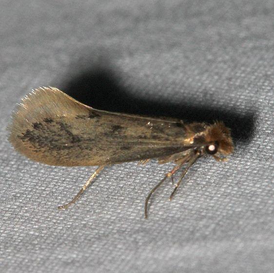 0332 Amydria curvistrigella tentative check range Mesa Verde Natl Pk Colorado 6-12-17 (13)_opt