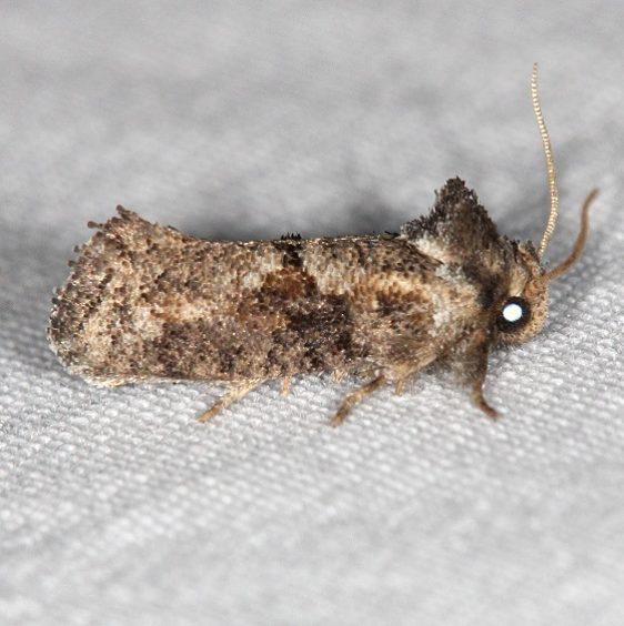 0371 Piger Grass Tubeworm Moth NABA Gardens Texas 11-1-16_opt