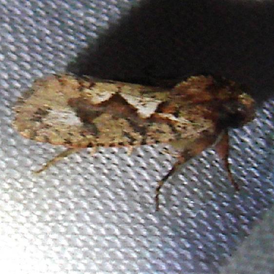 0371 Piper Grass Tubeworm Moth Flamingo Everglades 3-2-12