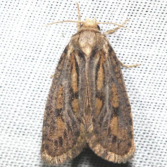 0373 Clemen's Grass Tubeworm Moth yard 7-21-12