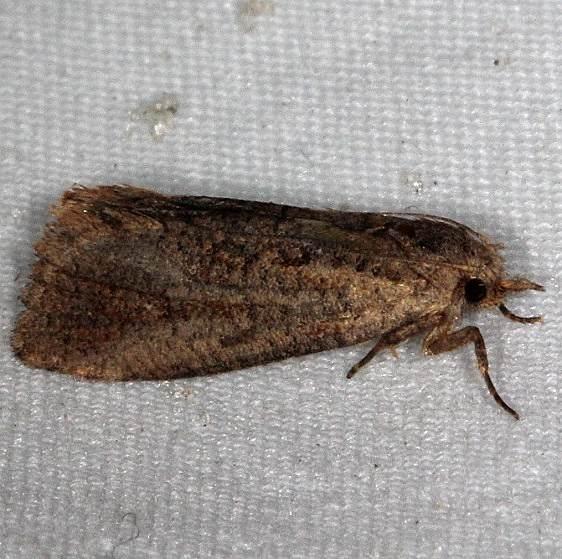 0374 Acrolophus propinquus tentative Little Manetee River St Pk 3-10-15_opt