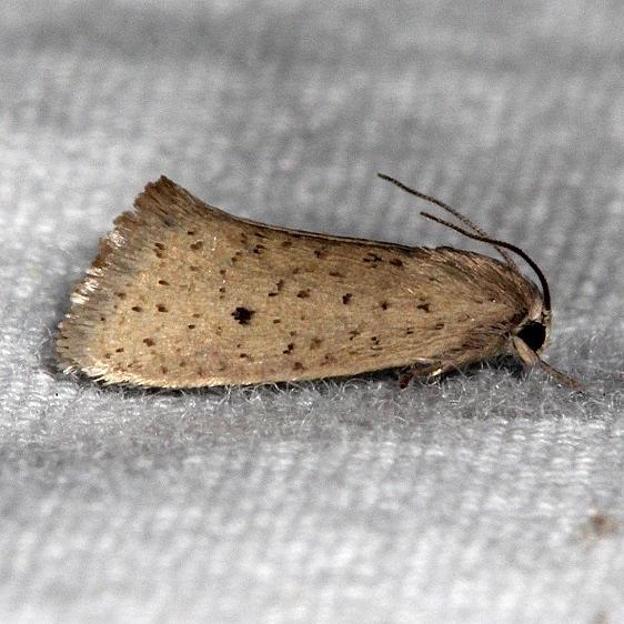 0382.1 Acrolophus spilotus Collier-Seminole St Pka 3-6-15 (8)_opt