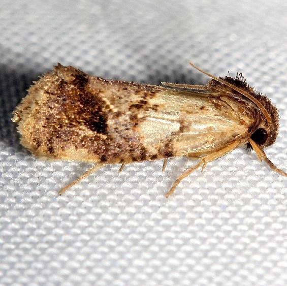 0383 Texas Grass Tubeworm Moth Lake Kissimmee St Pk Fl 2-26-13