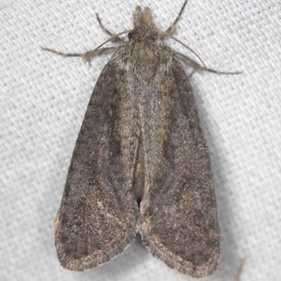 0383 Texas Grass Tubeworm Moth yard 7-17-13 (41)_opt
