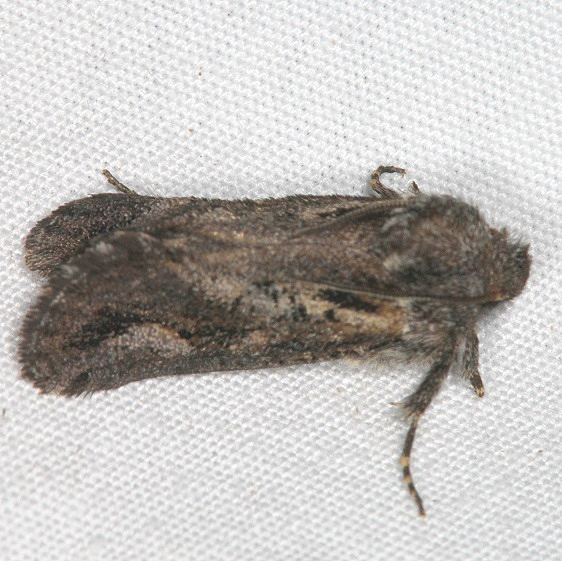 0385 Acrolophus variabilis tentative BG Devil's Canyon Manti-La Sal Natl Forest Utah 6-8-17 (107)_opt