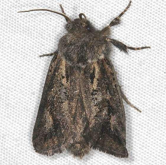 0385 Acrolophus variabilis tentative BG Devil's Canyon Manti-La Sal Natl Forest Utah 6-8-17 (109)_opt