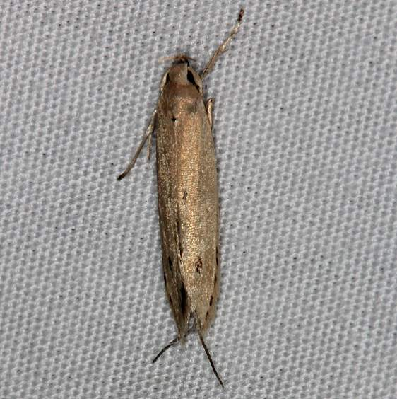 0432.1 Banana Moth Opogana sacchari closest Faver-Dykes St Pk 2-25-15