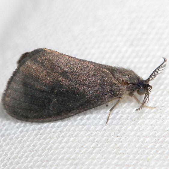 0441 Nigrita Bagworm Moth Lake Kissimmee St Pk Fl 2-28-13
