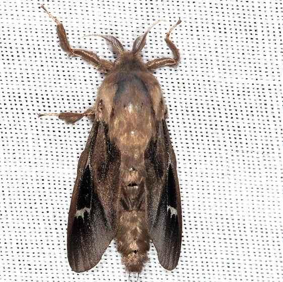 0454 Oiketicus abbotii Abbot's Bagworm Highland Hammock St Pk Fl 3-5-14