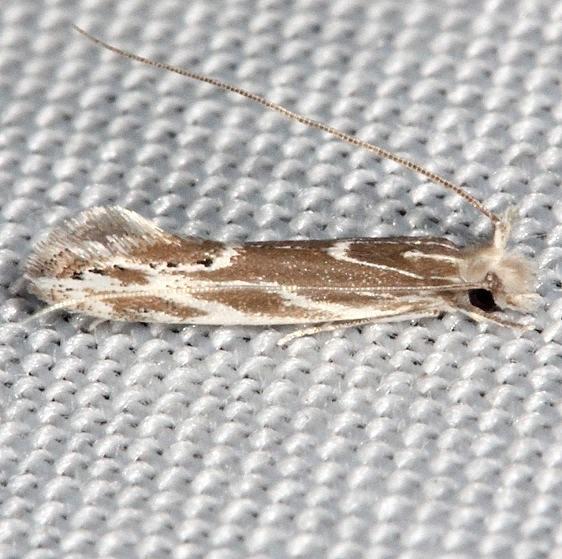 0461 Euprora argentiliniella Collier Seminole St Pk 2-25-14