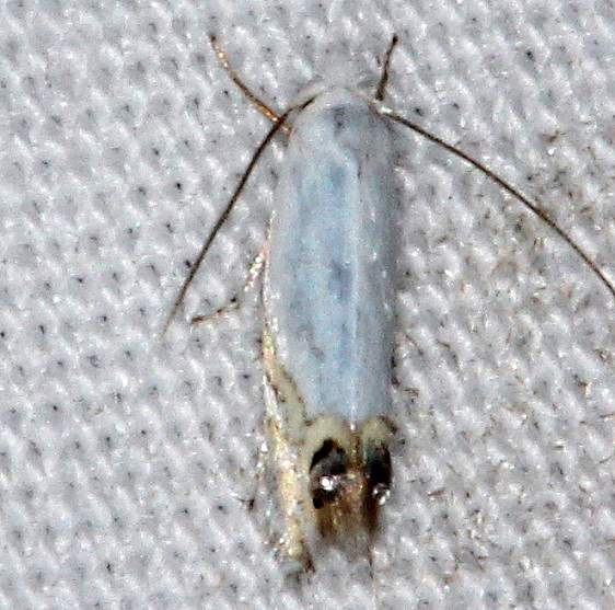 0475 Cottonwood Leafminer Moth Jenny Wiley St Pk 4-20-16
