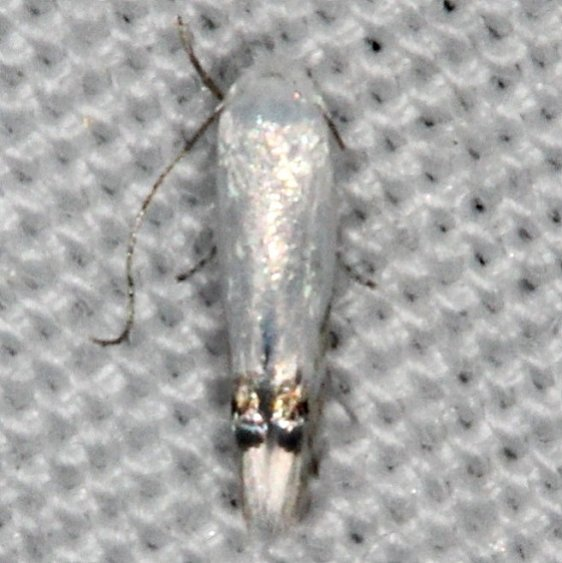 0479 Laburmum Leaf Miner Moth Collier-Seminole St Pk 3-7-15