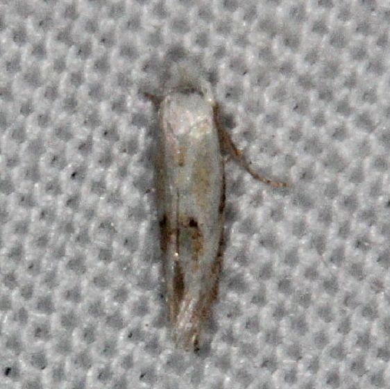 0486 Bucculatrix montana Silver Lake Cypress Glenn Fl 3-16-15