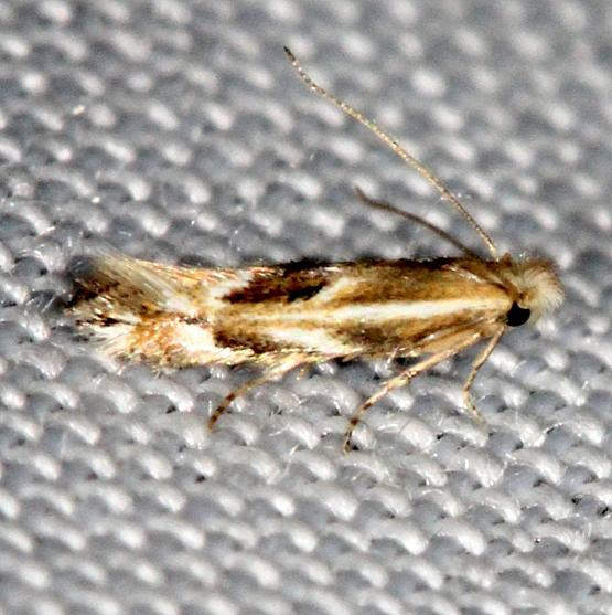 0522 Bucculatrix angustata Carter Cave St Pk Ky 4-23-13