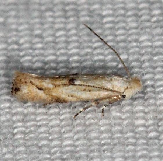0582.97 Unidentified Bucculatrix Moth Silver Lake Cypress Glenn Fl 3-19-15