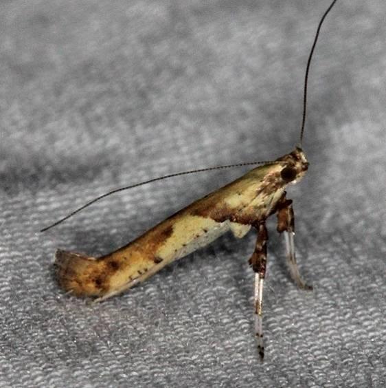 0596 Walnut Caloptilia Moth yard 6-9-14
