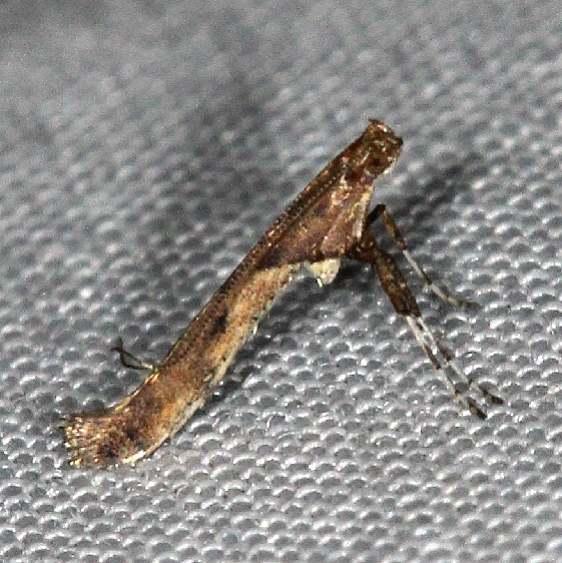 0615 Boxelder Leafroller Moth yard 9-7-16_opt
