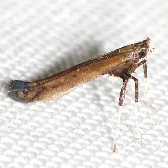 0633 Sassafras Caloptilia Moth yard 6-7-12