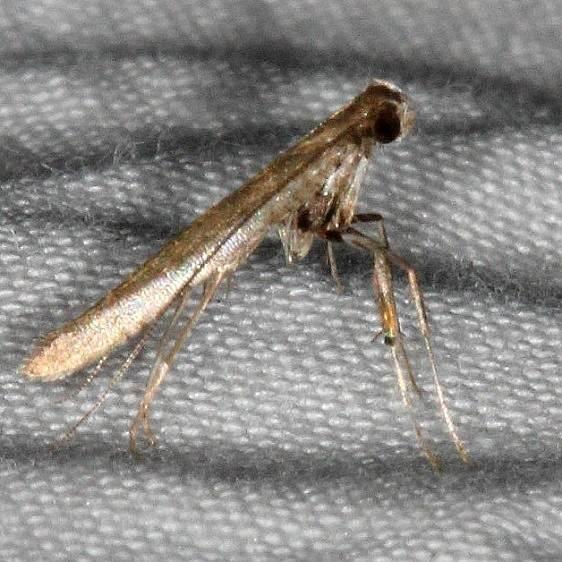 0645.97 Unidentified Caloptilia Moth BG Collier-Seminole St Pk 3-3-15