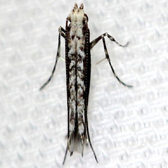 0647.97 Unknown Micruapteryx Pineland Everglades Natl Pk 3-8-13