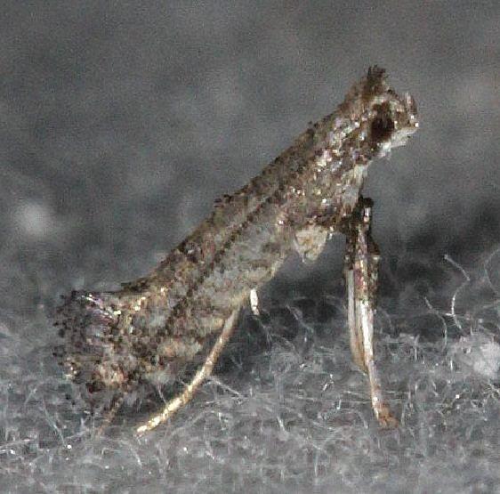 0686.97 Unidentified Parornix Moth BG yard 9-6-14