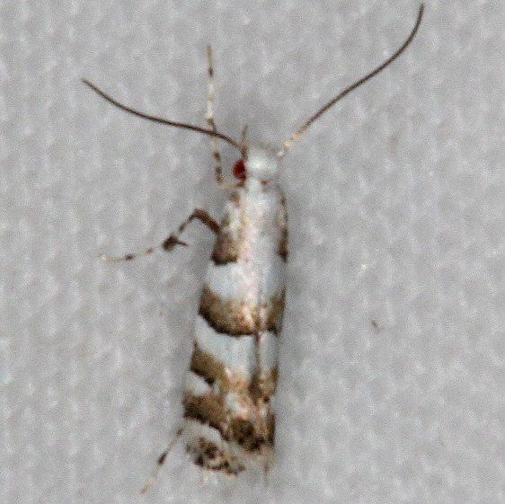 0708 White Pine Barkminer Moth yard 8-10-15_opt